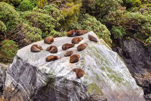 Foto auf Leinwand Ozeanien Colony of sea lions, Milford Sound, New Zealand