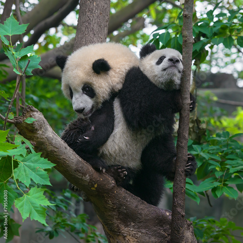 Stickers pour porte Panda Cute young panda bears playing in tree