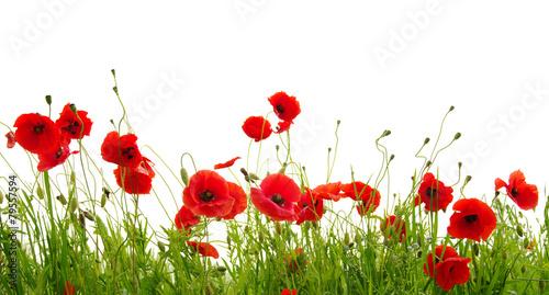 Canvas Prints Poppy red poppy