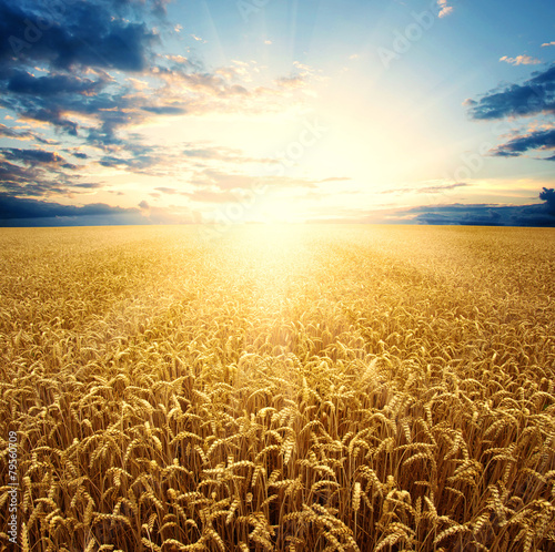 Fotomural Field of wheat
