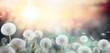 canvas print picture - field of dandelion in sunset - bokeh and allergy