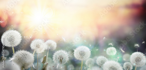 Spoed Foto op Canvas Weide, Moeras field of dandelion in sunset - bokeh and allergy