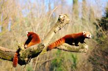 Coppia Di Panda Rosso
