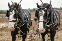 Ned And Daisy, Shirehorses