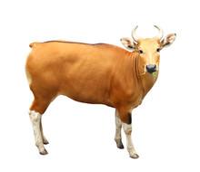 Image Of Banteng Isolated On White Background