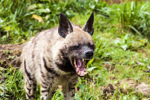 Foto auf Gartenposter Hyane Striped hyaena, Hyaena hyaena