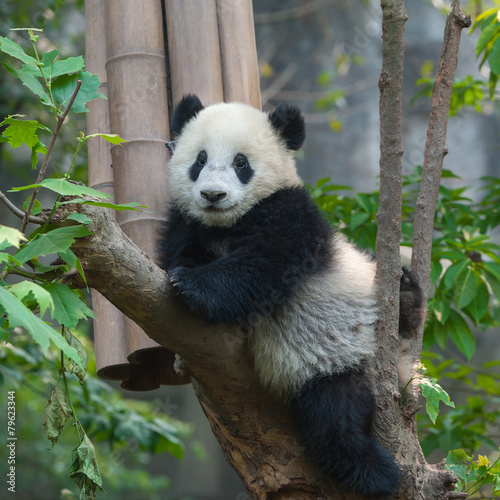 Stickers pour porte Panda Panda bear in tree