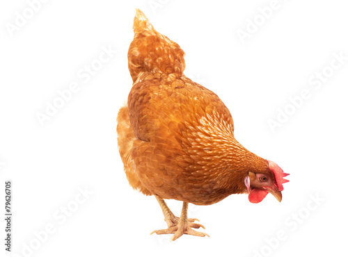 Papiers peints Poules close up chicken hen eating something isolated white background