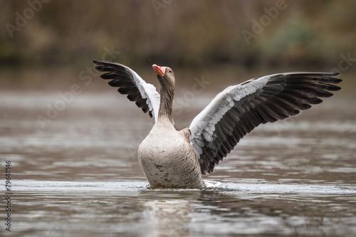 Fototapeta Greylag goose