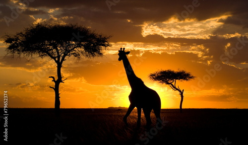 Fotobehang Afrika Giraffe at sunset in the savannah. Kenya.