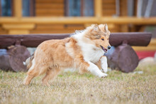 Rough Collie Dog Running In The Yard