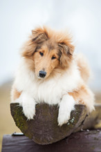 Rough Collie Dog Lying On The Bench