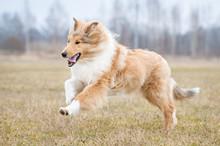 Rough Collie Dog Running