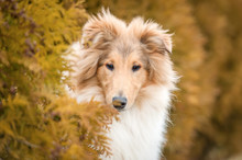 Portrait Of Rough Collie Dog In The Bush
