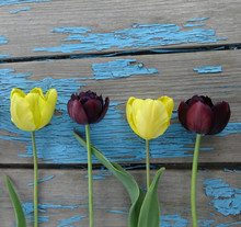 Yellow And Black Tulips On An ...