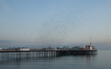 Starling Murmuration Over Brig...