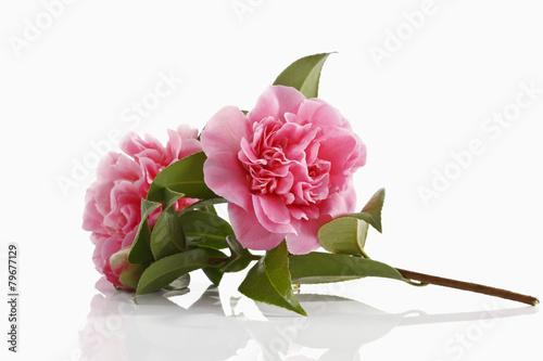 Carta da parati Kamelie (Camellia japonica)