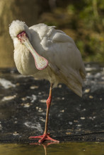 African Spoonbill Standing In One Leg