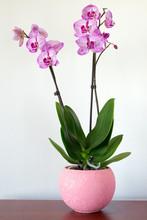 Indoor Pink Orchid Flower In Interior