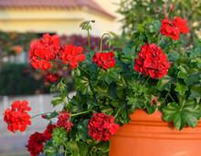 Red Geranium Flowers.