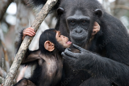 Female chimpanzee with a baby. Funny frame. Fototapet