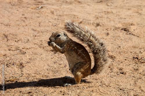 Tuinposter Eekhoorn South African ground squirrel, Kalahari, South Africa