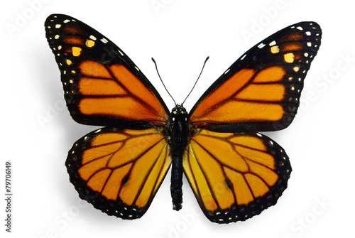 Photo  Monarch (Danaus plexippus), a migrant butterfly