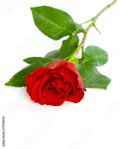 red rose © Pakhnyushchyy