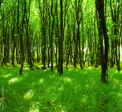 forest trees #79706962