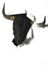 Black Fighting Bull Head Break...