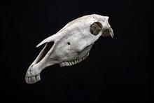 Horse Skull Isolated On Black Background.