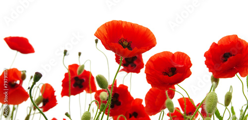Fotobehang Poppy red poppy