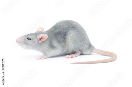 rat Fototapeta