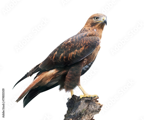 Long-legged buzzard on white Fototapet
