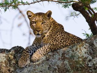 Fototapeta Leopard on the Tree