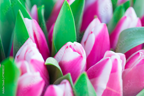 Rose Pink and white tulips