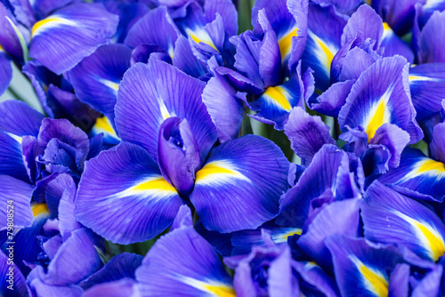 Blue flower irises