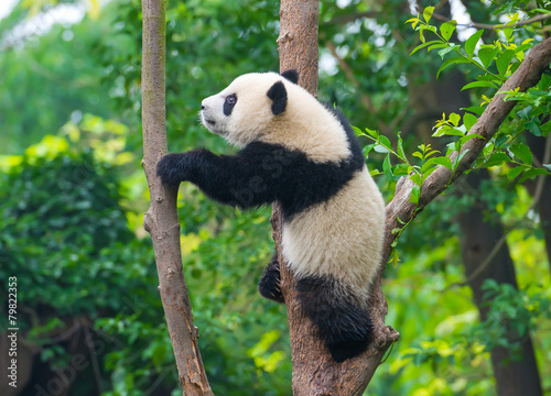 Stickers pour porte Panda Playful panda bear climbing tree