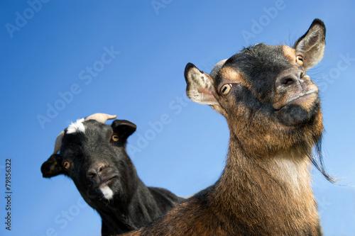 Valokuva  Zwei Ziegen