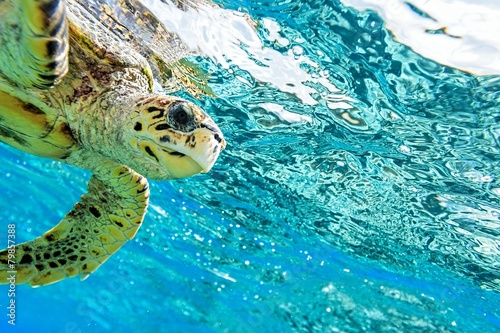 Poster Schildpad sea turtle