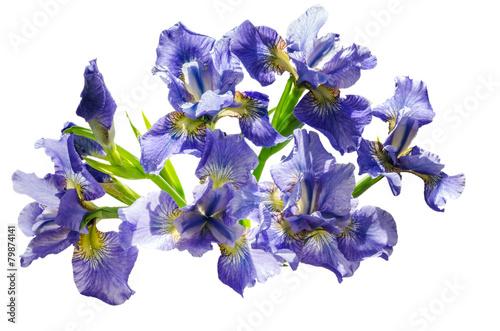 Poster Iris Bouquet blueflag or iris flower Isolated on white background
