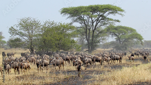 Poster Antilope Blue wildebeests during the Great Migration