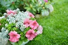 Flowers Petunia In The Garden.