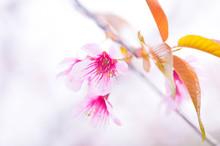 Sakura , Cherry Blossom ,flower