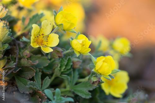 Fotografering  Potentilla arenaria