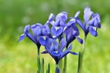 iris bleu sur fond vert