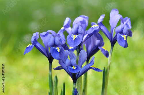 Spoed Foto op Canvas Iris iris bleu sur fond vert