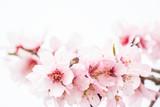 Fototapeta Kwiaty - fleurs d'amandiers et abeille