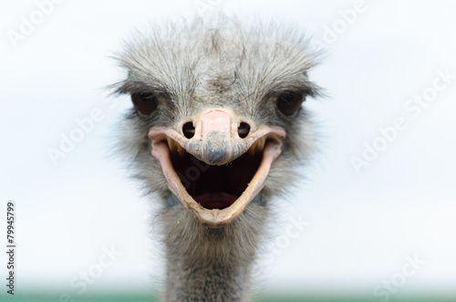 Big domestic ostrich in the poultry yard Canvas Print