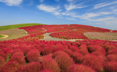 Obraz na Plexi Mountain, Cosmos and Kochia at Hitachi Seaside Park in autumn wi